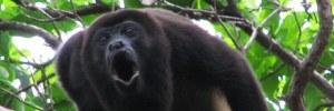 howler-monkey-ego-koan.jpg.737x248_0_11_10528