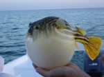 puffer-fish-facts-for-kids
