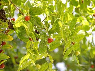 320px-Ziziphus_zizyphus_foliage