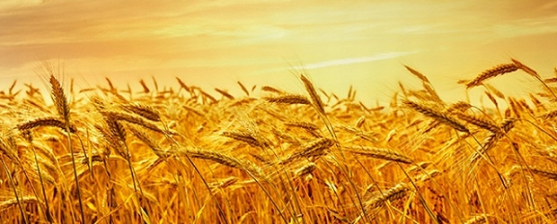 wheat-harvest_102405217
